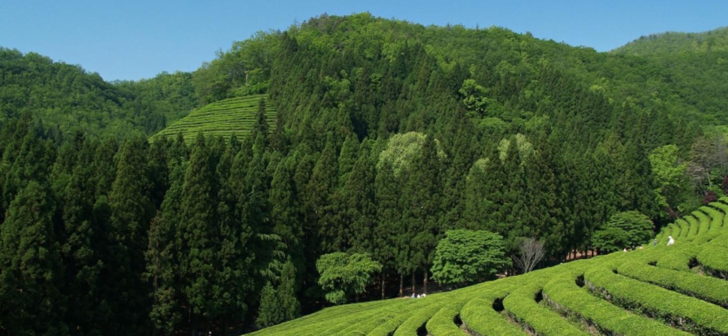 The Amazing Benefits of Tea Tree Oil